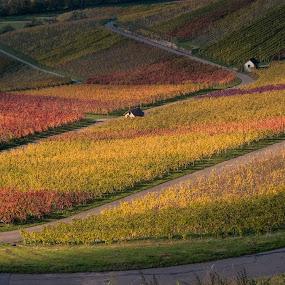 Vineyards in autumn by Jens Klappenecker-Dircks - Landscapes Prairies, Meadows & Fields ( photography of jens klappenecker-dircks, fuji x, autumn, vineyards, beautiful, heuholzer dachsteiger, germany, hohenlohe )