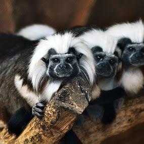 trio by Dhannie Setiawan - Animals Other Mammals ( animals, apes, white, black, monkey, mamals )
