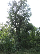 Photo: This long-lost green ash (Fraxinus pennsylvanica) is #3 on our list and hadn't been measured since 1981. Storms over the intervening period had withered its crown spread and height...