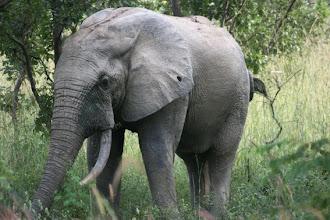 Photo: Elephant, Mole national Park, north Ghana