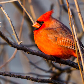Male Cardinal  by Satyam Muench - Animals Birds ( bird of illinois, red bird, male cardinal, cardinal, state bird, northern cardinal )