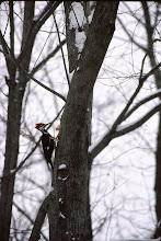 Photo: 53 Pileated woodpecker