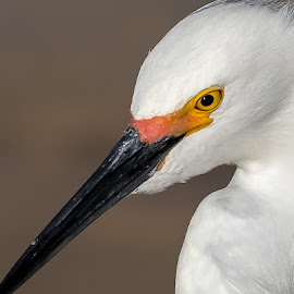 Snowy Egret by Don Young - Animals Birds ( nature, bird photography, snowy egret, birds, birding, portrait,  )