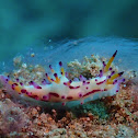 Hairy Norse God Nudibranch