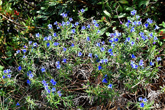 Photo: Lithodora rosmarinifolia, litospermo, erba-perla.