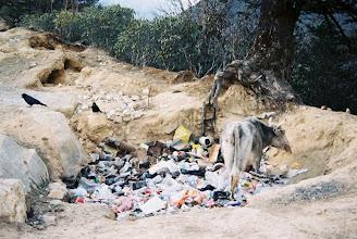Photo: Die Müllkuh untersucht Touristenmüll nach Essbarem