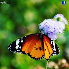 milkweed, common tiger, wanderer, and black veined brown