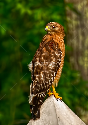indiana birds of prey