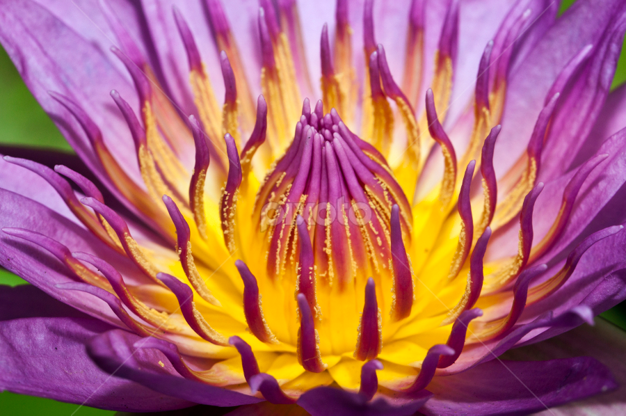 lotus by Eka Wijaya - Nature Up Close Flowers - 2011-2013