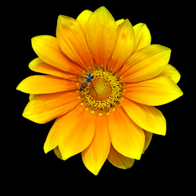 Vibrant Yellow Daisy by Debopam Banerjee - Nature Up Close Flowers - 2011-2013 ( nobody, birthday, gift, warm, seasonal, botany, bright, petals, ecosystem, yellow, beauty, pretty, spring, blossom, close, decor, love, open, sky, pollen, fragrant, clean, nature, flower, black, isolated, wild, valentines, decoration, blooming, flora, beautiful, bloom, farming, close-up, environment, easter, season, color, outdoors, background, stalk, day, garden, floral )