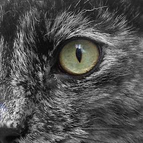 Intense by Serenity Deliz - Animals - Cats Portraits ( cat, serenity, cateyes, kitty )