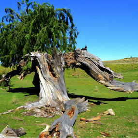 Weeping Willow by Japie Scholtz - Landscapes Prairies, Meadows & Fields ( sky, tree, wood, grass, branch, log )