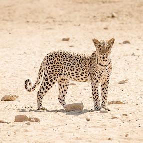 Leopard by Rute Martins - Animals Lions, Tigers & Big Cats ( leopard, cat, spots, south africa, kgalagadi,  )