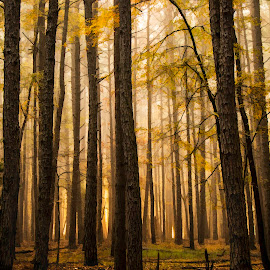 GOLDEN SUNRISE IN THE PINES by Dana Johnson - Landscapes Forests ( forest, sunrise, pines, autumn, trees, landscape, morning )