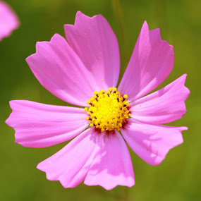 Pink by Praveen Kumar - Nature Up Close Flowers - 2011-2013