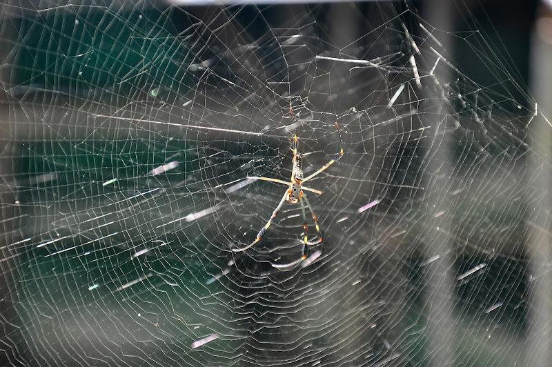 Spider in Guatemala di Cifellina