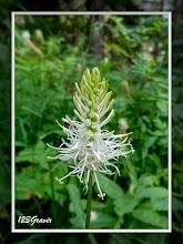 Photo: Raiponce en épi, Phyteuma spicatum