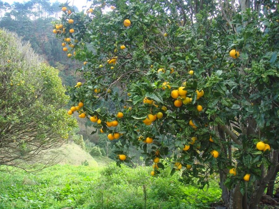Sinaasappels groeien hier in het wild!