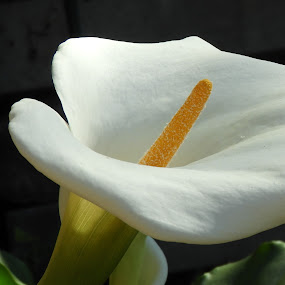 by Clare Draper - Flowers Single Flower