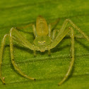 Long Green Crab Spider?
