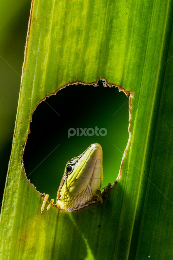 by Dedi Wahyudi - Animals Reptiles ( macro, lizard )