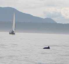 Photo: We did a Grand Circle of Orcas on our last full day. It was a multi-porpoise trip, with about a dozen sightings! Dahl's porpoises, we think.