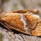 Yellow-shouldered Slug Moth- 4665