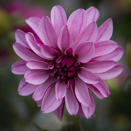 The Color Of Wine by Janet Marsh - Flowers Single Flower ( dahlia )