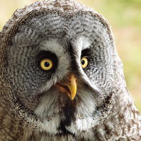Great Grey Owl by Martin Hughes - Animals Birds ( bird of prey, owl, great grey, great grey owl )