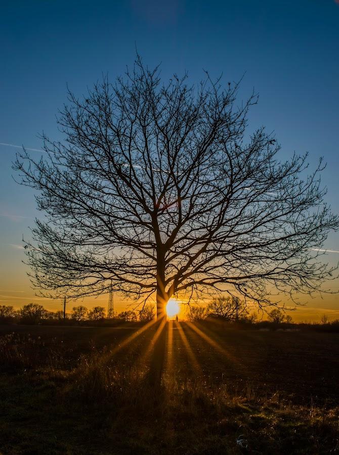 Sunset oak by Matija Šimunić - Landscapes Sunsets & Sunrises ( oak, colors, sunset, evening, dusk, sun rays, golden hour )