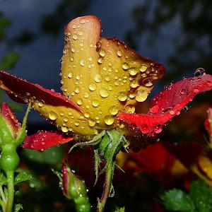 Water droplets on flowers 128.JPG