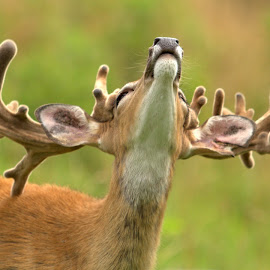 Heads Up by Kevin Frick - Animals Other Mammals ( horns, west virginia, antlers, buck, deer,  )