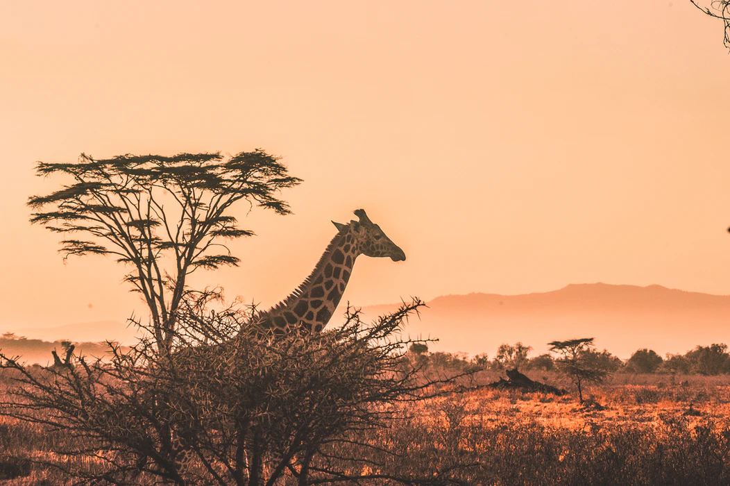 A giraffe behind some trees and bushes in kenya desert, with a beautiful orange sunset in the background