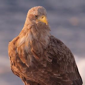 Stellar Sunrise by Chris Wangard - Animals Birds ( eagle, hokkaido )