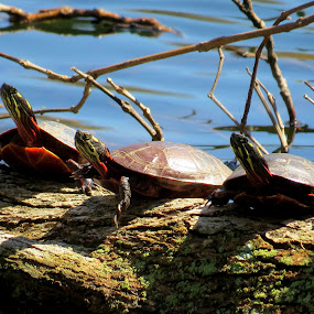 Turtle Trio by Erika  Kiley - Novices Only Wildlife ( trio, turtles, log, spring, pond )