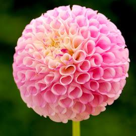 Dahlia Mum 56 by Jim Downey - Flowers Single Flower ( pink, mum, white, dahlia, yellow )