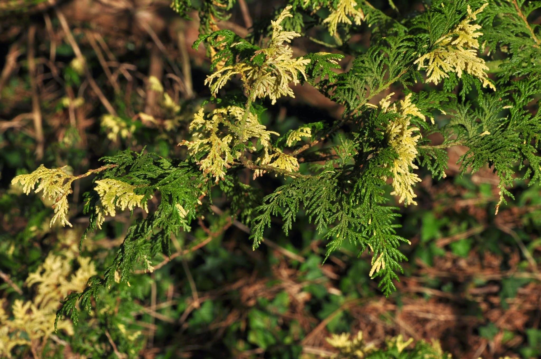 Photo: Chamaecyparis pisifera 'Nana Aureovariegata'