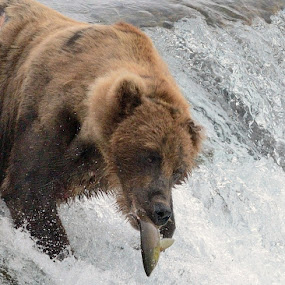 Salmon For Dinner by Stephen Beatty - Animals Other Mammals (  )