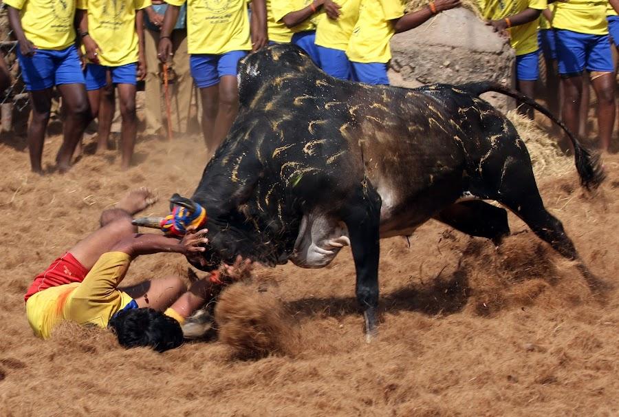 Bull Taming by Vijayakumar Ramiya Desikachary - Sports & Fitness Rodeo/Bull Riding ( bull taming, palamedu, jalikkattu, madurai )