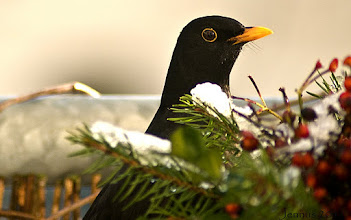 Photo: Das Amselmännchen (Turdus merula) bzw. Schwarzdrossel gehört zu der Vogelart der Familie der Drosseln (Turdidae).