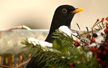 Photo: Das Amselmännchen (Turdus merula) bzw. Schwarzdrossel gehört zu der Vogelart der Familie der Drosseln (Turdidae).  Weihnachtskarte / Postkarte  Handmade Postcard for family and friends   free download the picture