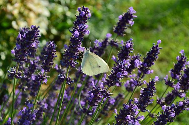 Farfalla sulla lavanda di corbellimax