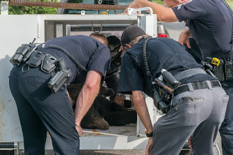 Photo: Bear is safely placed in cage for relocation.