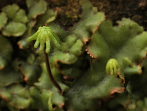 Photo: Marchantia polymorpha - again, taking a colony on a vertical wall has helped provide a thalloid background.