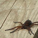 Great raft spider