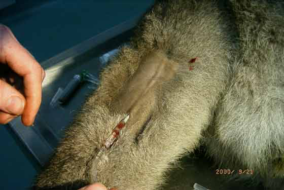 Lateral coccygeal vein in an eastern grey kangaroo.