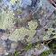 Map lichen