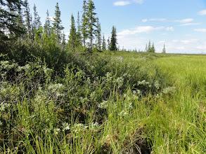 Photo: Пробовали, где легче идти - по болоту или по березке? Разницы большой нет, ползем как черепахи.