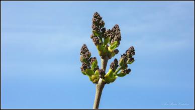 Photo: Liliac (Syringa vulgaris) - de pe Str. Salinelor - 2017.03.31