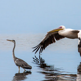 White Pelican with Grey Heron by Ada Louw - Animals Birds